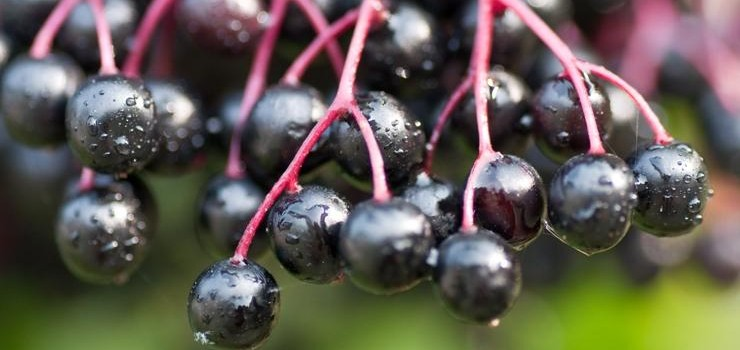 European elderberry (Sambucus nigra L.) and dwarf elderberry (Sambucus ebulus L.) have a wide range of health benefits