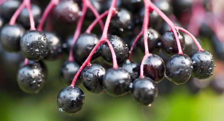 European elderberry (Sambucus nigra L.) and dwarf elderberry (Sambucus ebulus L.) have a wide range of health benefits