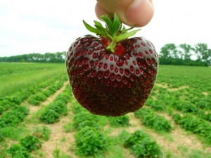 The Nerina Stawberry (Fragaria nerina)