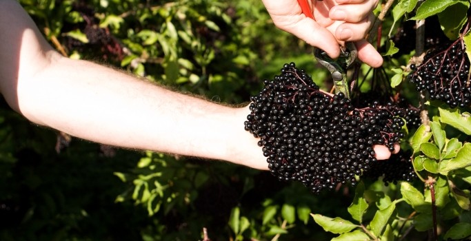 Elderberry, anti-oxidants