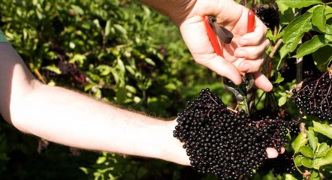 Haschberg Elderberry, anti-oxidants,