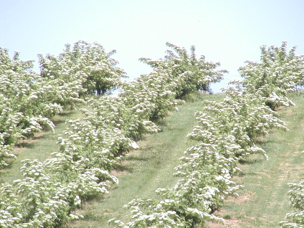 Elder trees blossoming