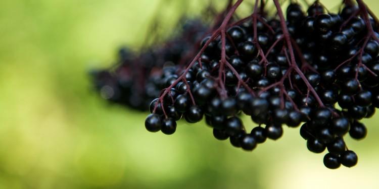 Haschberg Black elderberry
