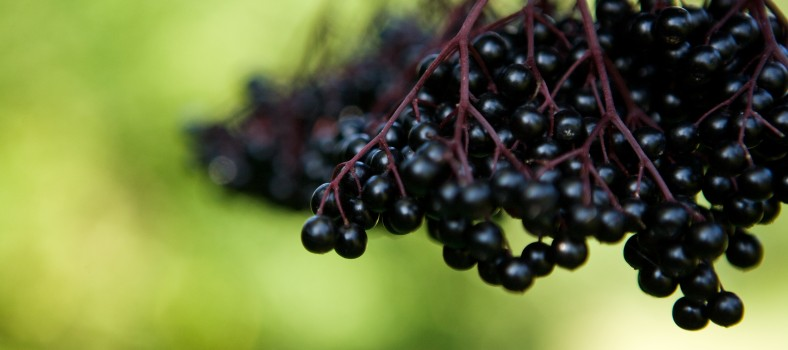 Haschberg Black elderberry